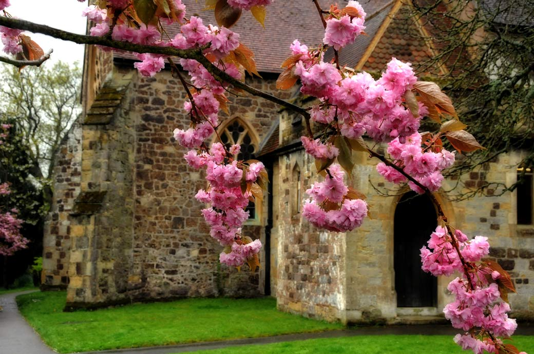 A pretty photo through the pink cherry blossom of the historic and picturesque St Nicolas Church in Cranleigh a fine medieval Surrey wedding venue